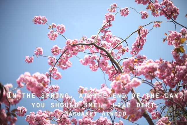 cherry blossoms + margaret atwood