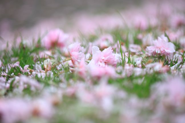 cherry blossoms in the grass